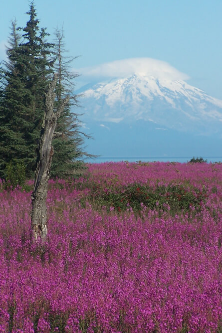View of large field of purple fireweed with a famous volcano in the background.